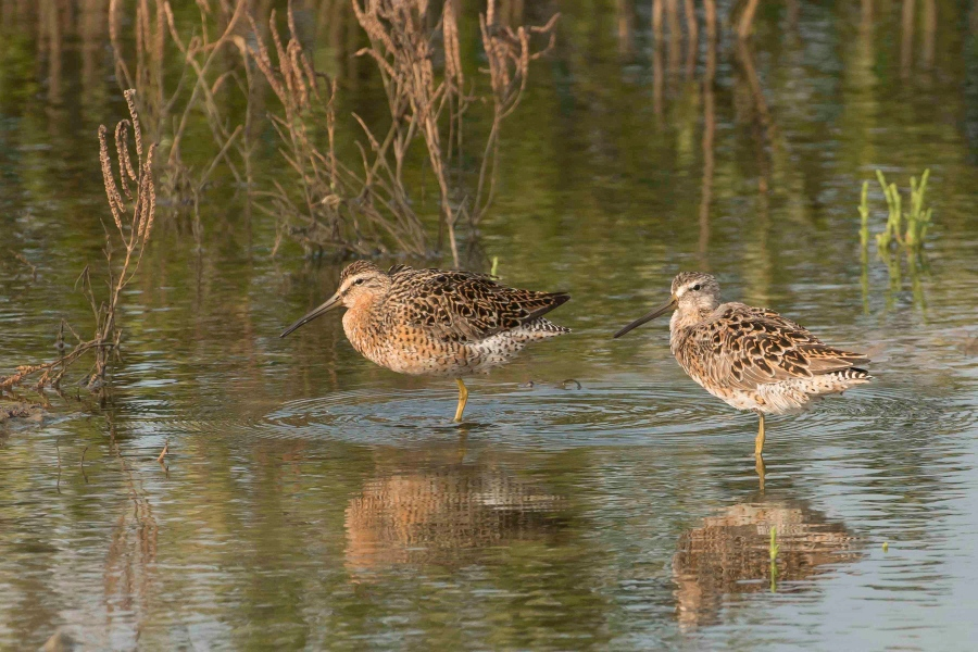 Short-billed Dowitcher.Abaco Bahamas.Tom Sheley
