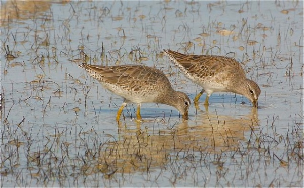 Short-billed Dowitchers, Abaco -  Bruce Hallett