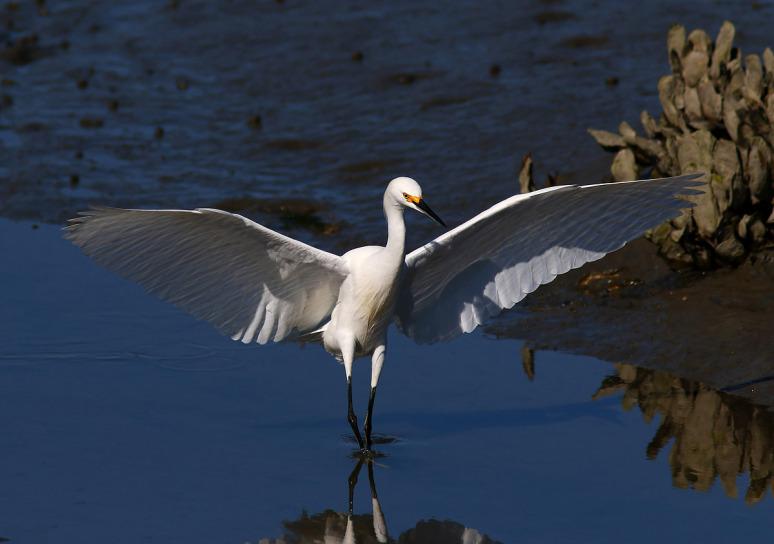 snowy-fishing-in-the-salt-marsh-01 (Phil Lanoue)