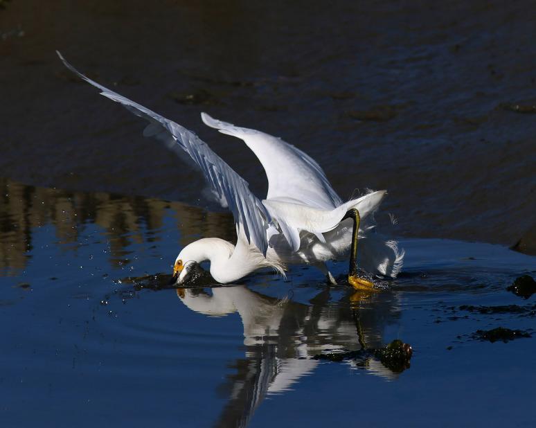 snowy-fishing-in-the-salt-marsh-02 (Phil Lanoue)