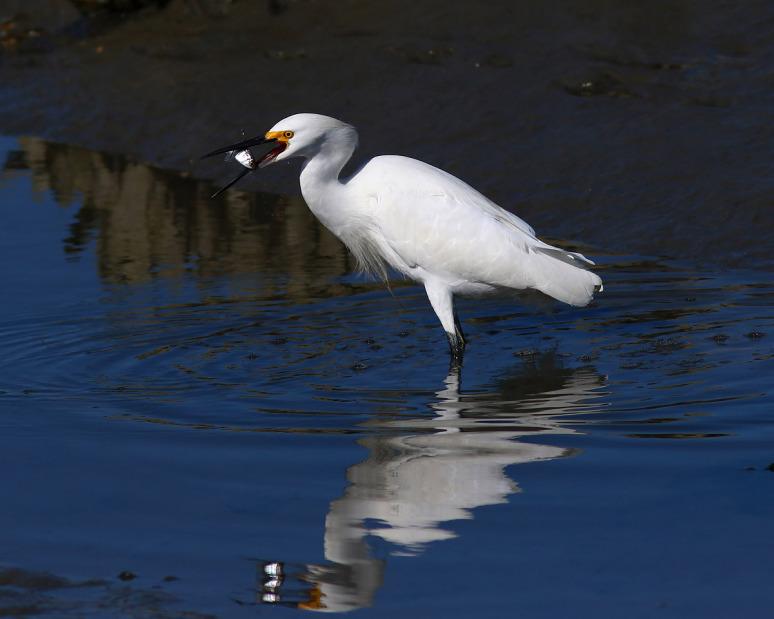 snowy-fishing-in-the-salt-marsh-03 (Phil Lanoue)