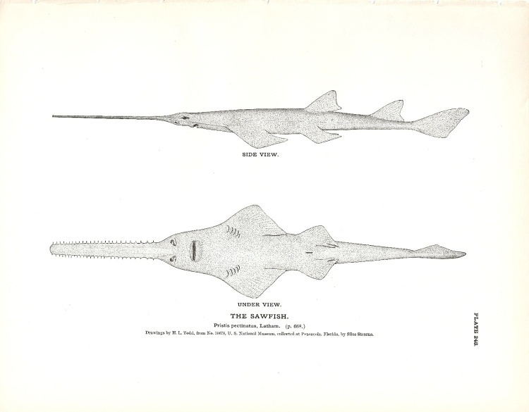 Sawfish Book Plate (1884)