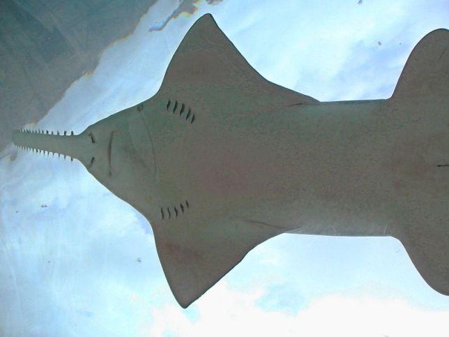 Sawfish seen from Underwater Tunnel - Atlantis, Nassau Bahamas (Fred Hsu)