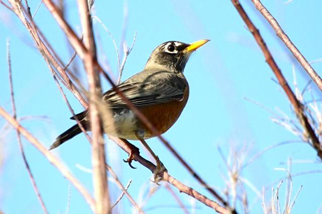 American Robin, Abaco - Bruce Hallett