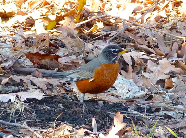 American Robin, NYC (Rolling Harbour)
