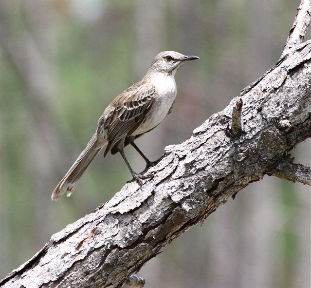 Bahama Mockingbird, Abaco -  Bruce Hallett