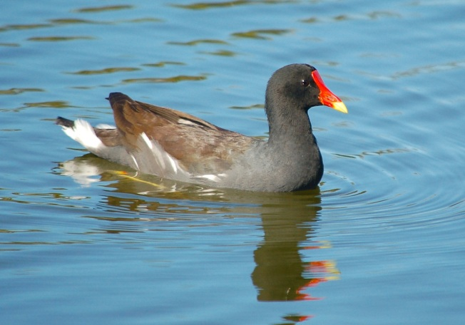 Common Gallinule, Abaco (Keith Salvesen)