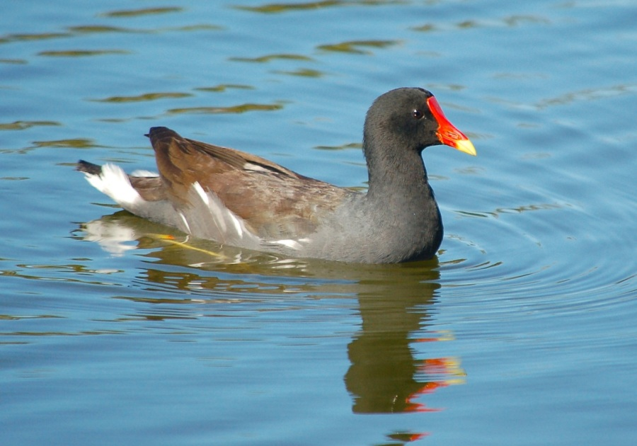 BAHAMAS - Common Gallinule, Abaco, TC GC Hole 11 - Becky Marvil