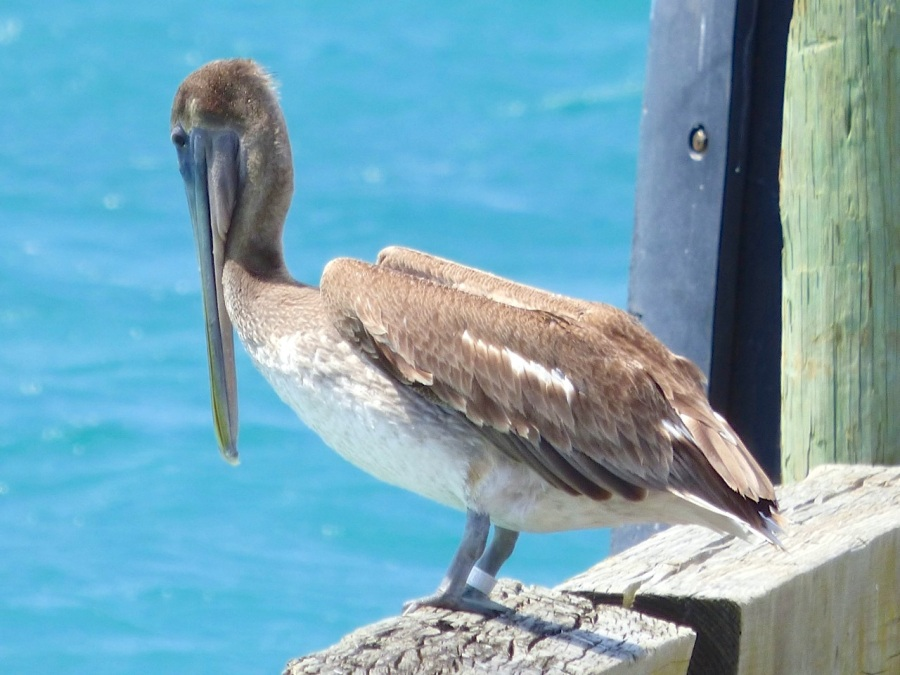 Brown Pelicans, Sandy Point, Abaco 10