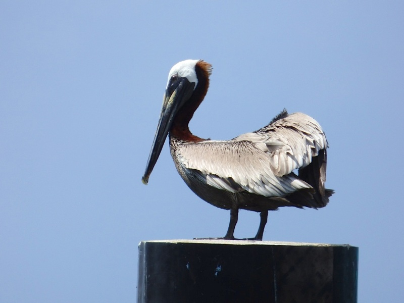 Brown Pelicans, Sandy Point, Abaco 12