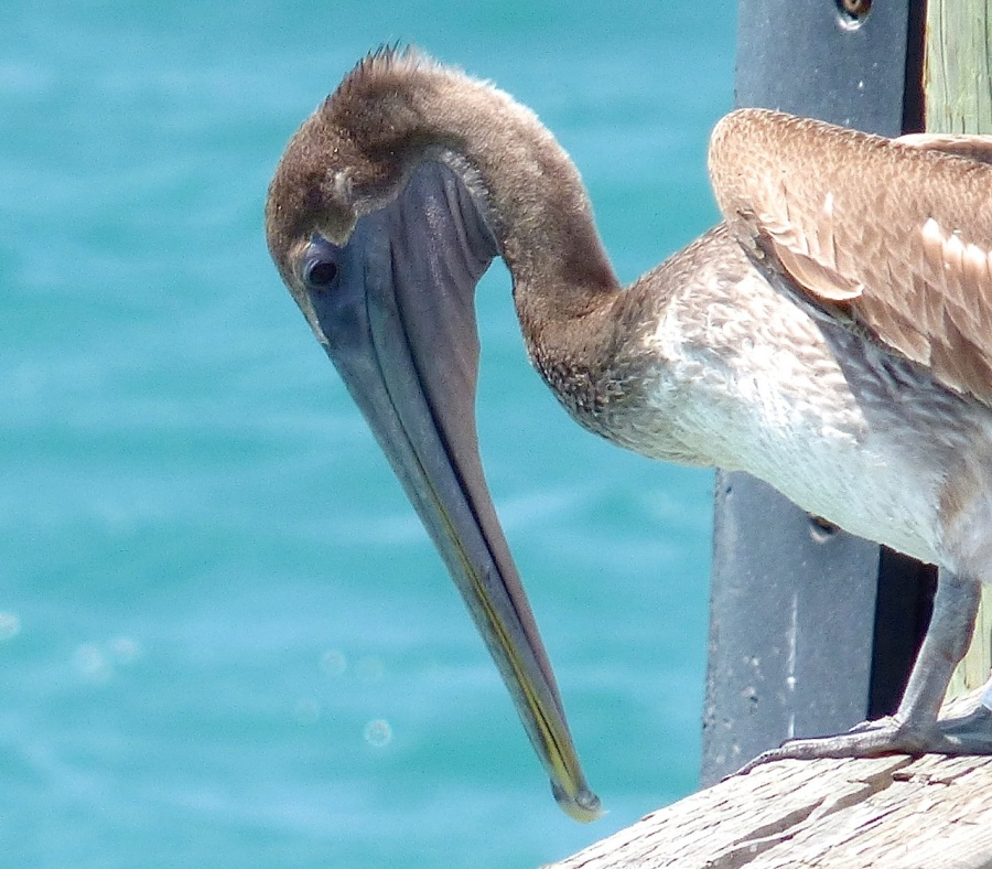 Brown Pelicans, Sandy Point, Abaco 14