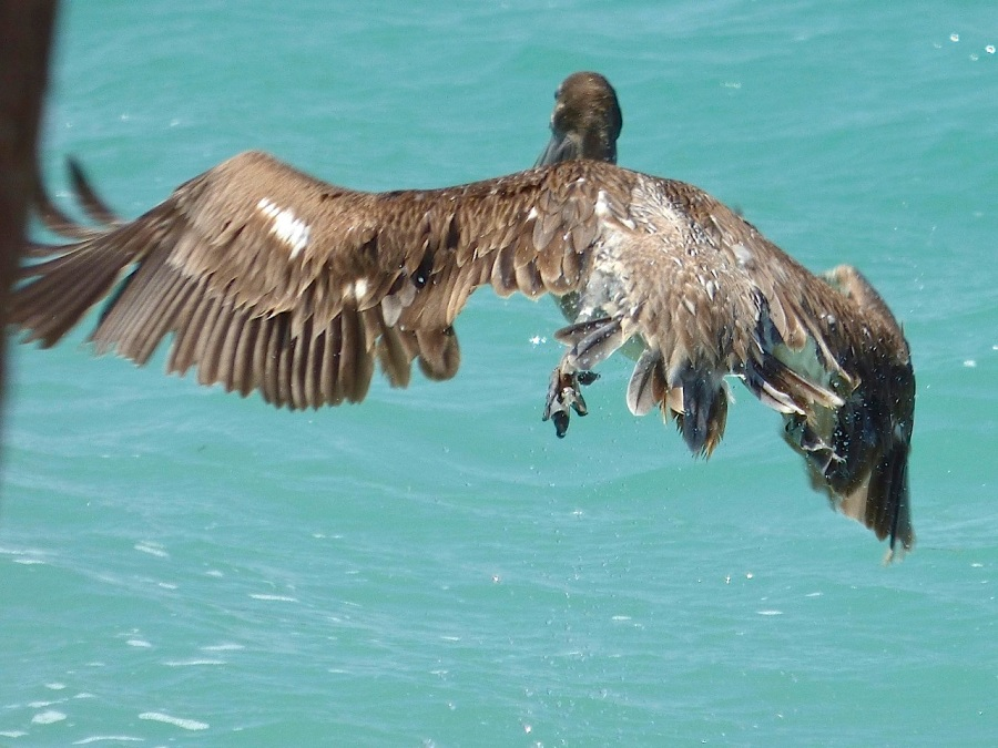 Brown Pelicans, Sandy Point, Abaco 16