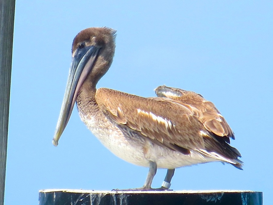 Brown Pelicans, Sandy Point, Abaco 17