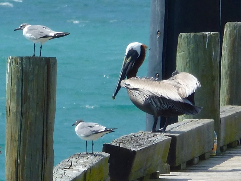 Brown Pelicans, Sandy Point, Abaco 4