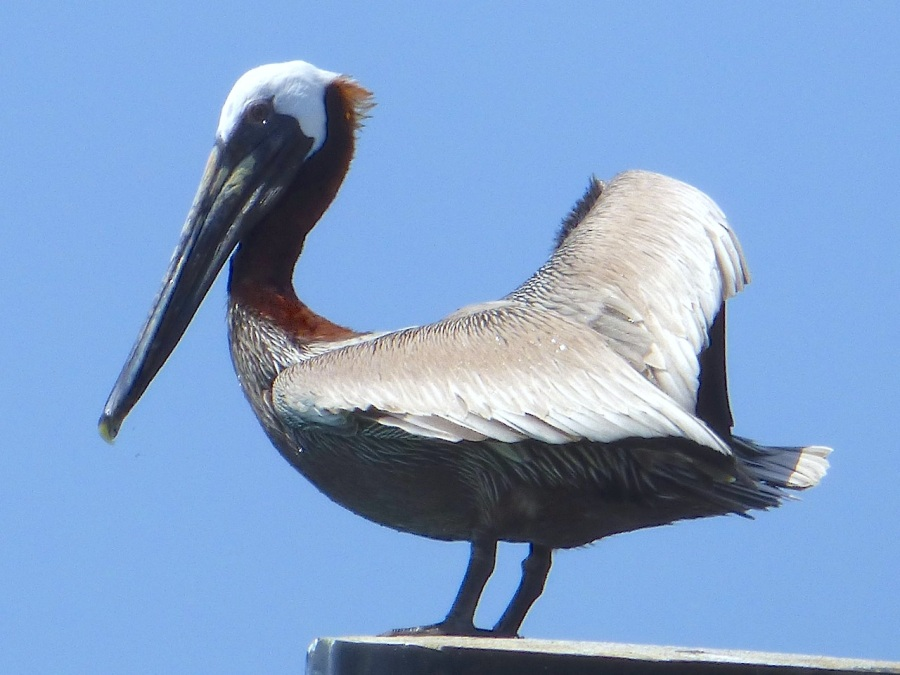 Brown Pelicans, Sandy Point, Abaco 6