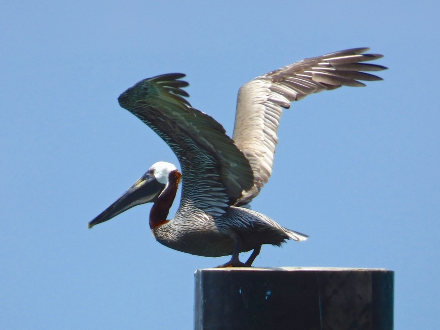 Brown Pelicans, Sandy Point, Abaco 7
