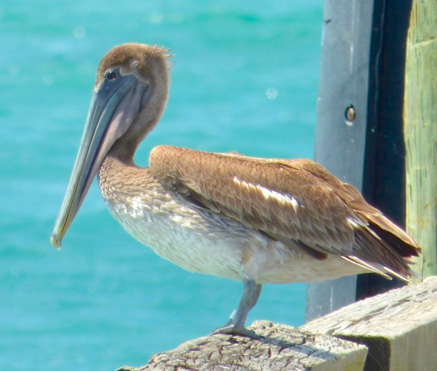 Brown Pelicans, Sandy Point, Abaco 8