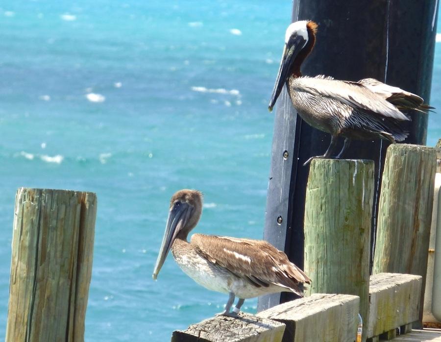 Brown Pelicans, Sandy Point, Abaco 9