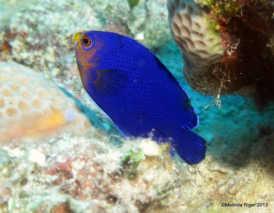Bahamas reef fish rolling harbour abaco for Blue saltwater fish