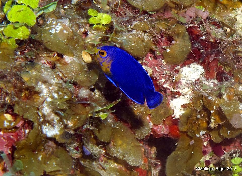 cherubfish pygmy angelfish bahamas reef fish 23 rolling