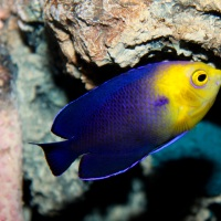 CHERUBFISH (PYGMY ANGELFISH): BAHAMAS REEF FISH (23)