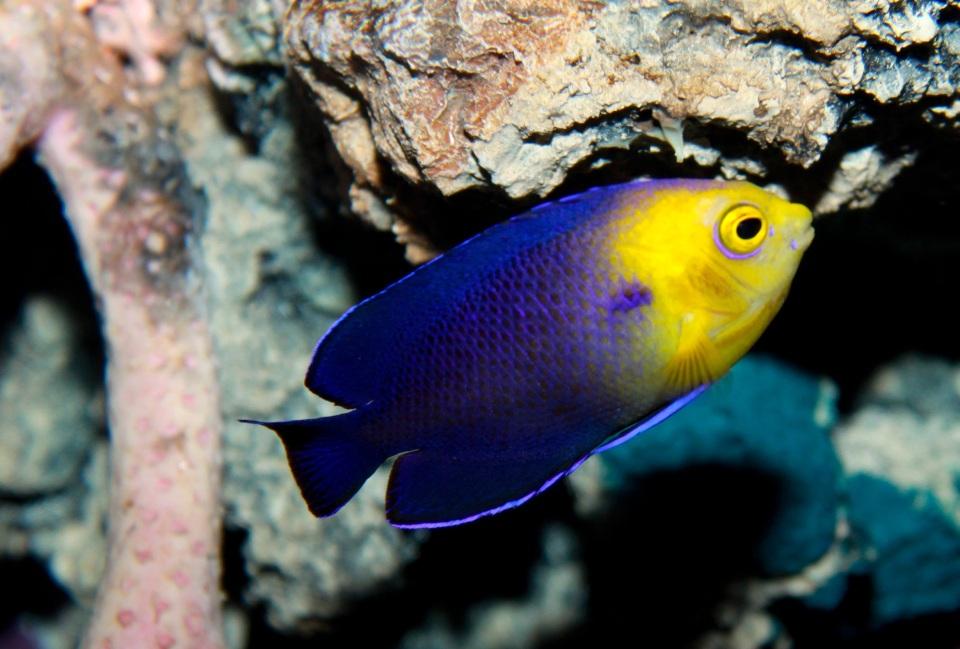 Cherubfish Centropyge argi  (Brian Gratwicke)
