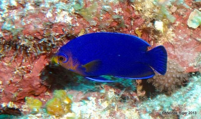 Cherubfish (rare) ©Melinda Riger @ G B Scuba