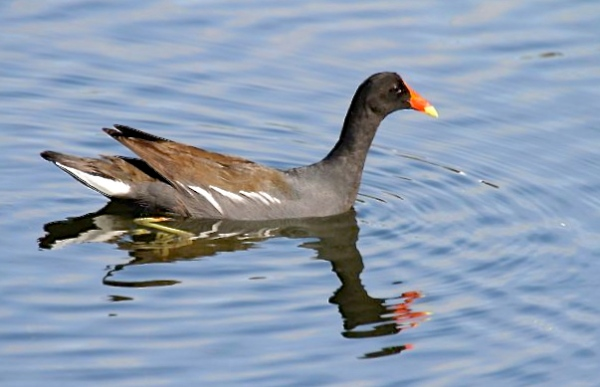 Common Gallinule, Abaco - Bruce Hallett
