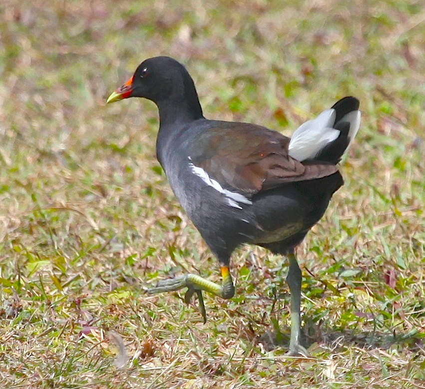 Common Gallinule, Abaco - Peter Mantle