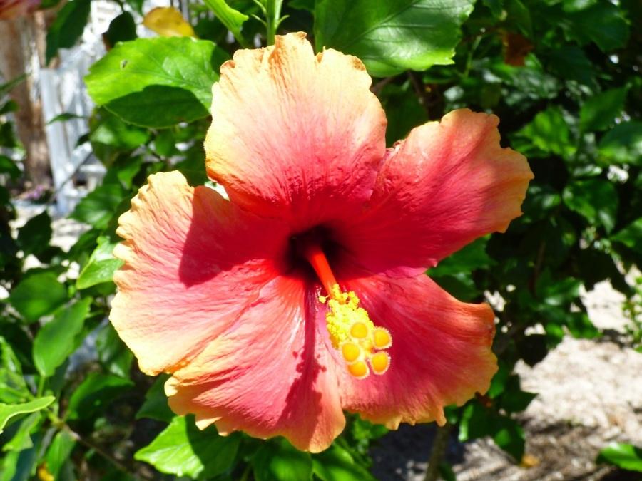 Hibiscus, Delphi, Abaco 10