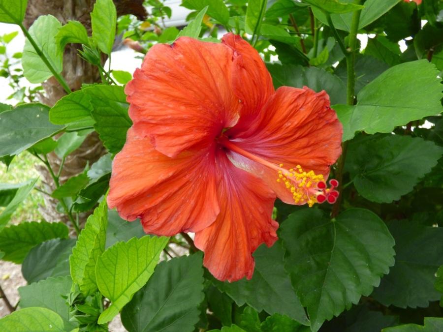 Hibiscus, Delphi, Abaco 2