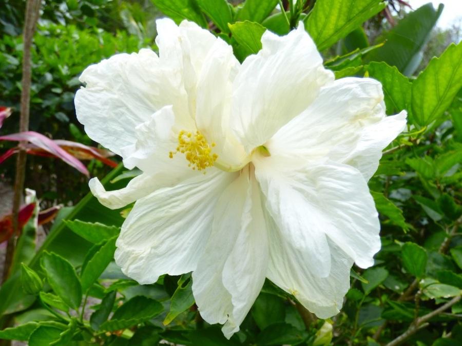 Hibiscus, Delphi, Abaco 3