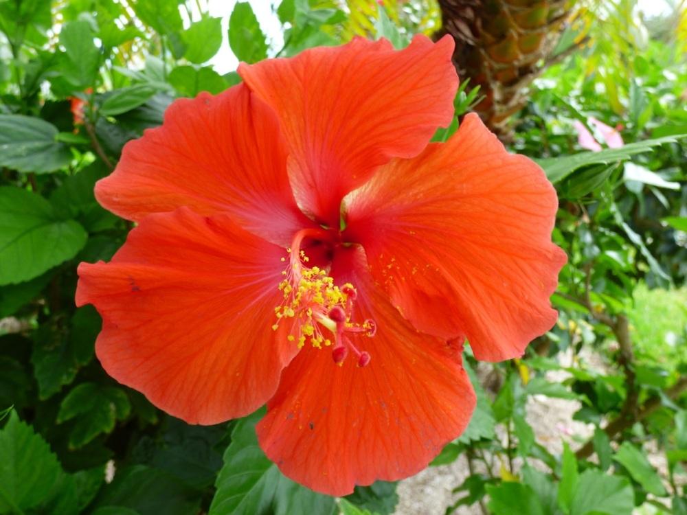 Hibiscus, Delphi, Abaco (Keith Salvesen)