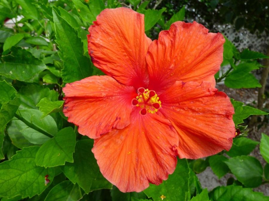 Hibiscus, Delphi, Abaco 7