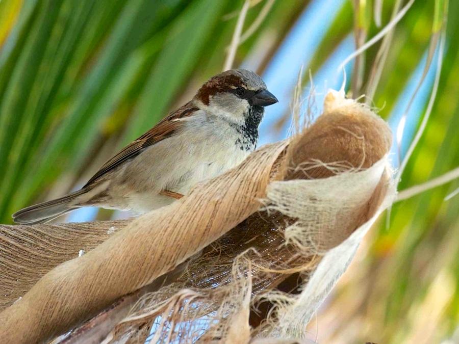 House Sparrow, Abaco - Nina Henry