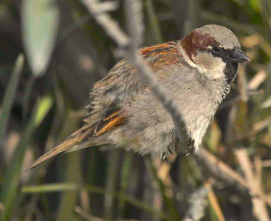 House Sparrow, Abaco - Peter Mantle
