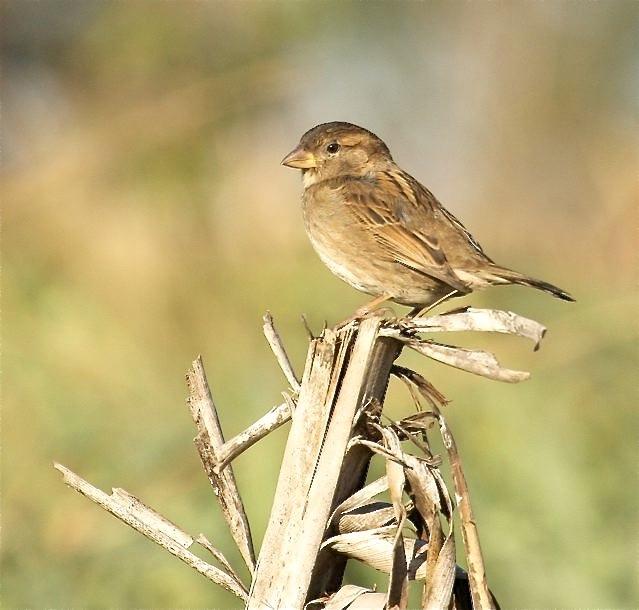 House Sparrow (f), Abaco Bruce Hallett copy