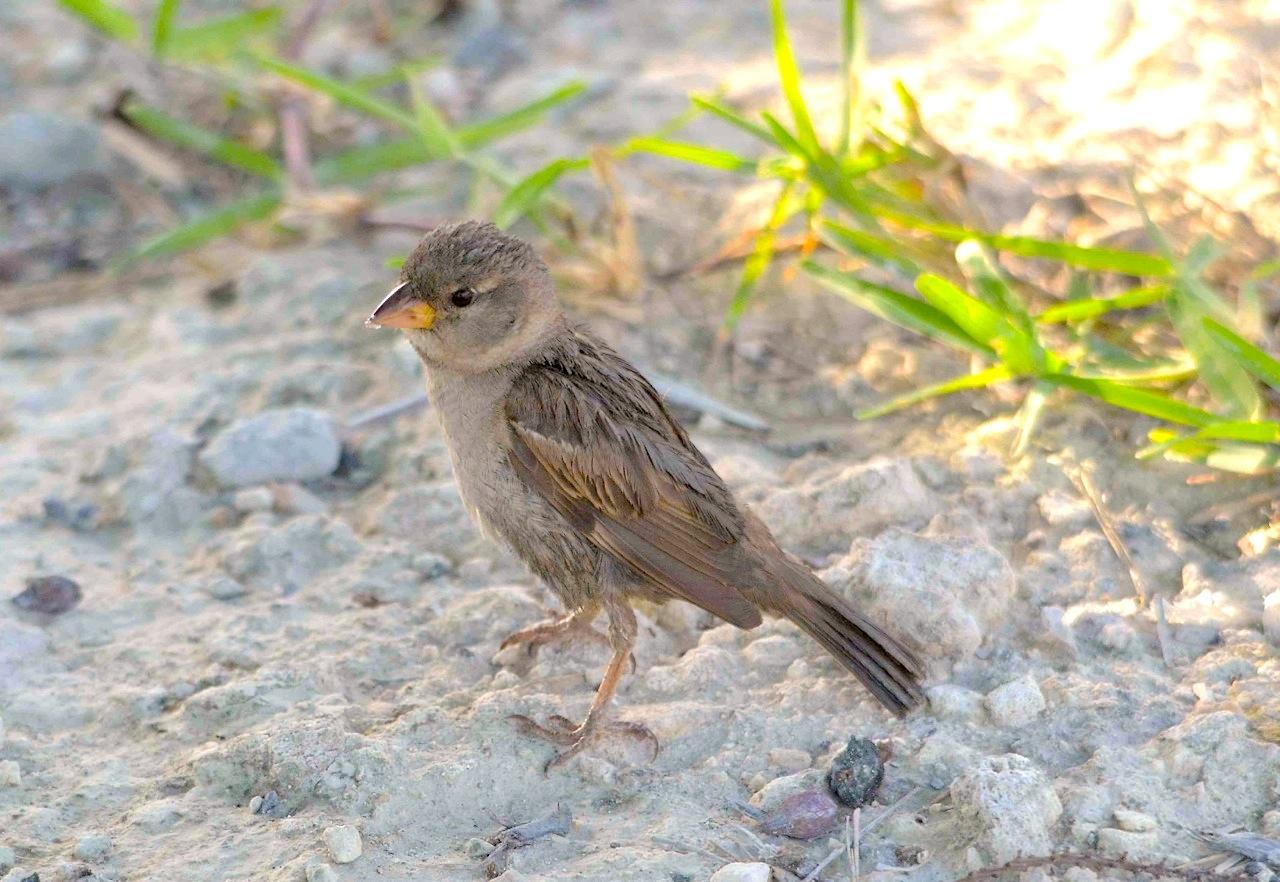 House Sparrow (juv), Abaco (Charles Skinner)