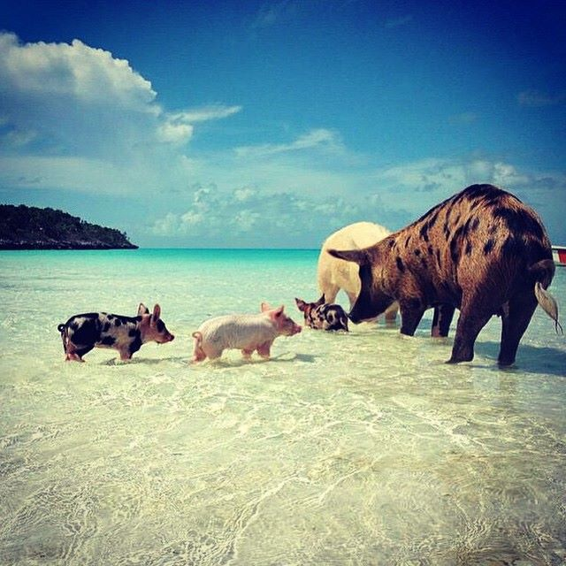 Swimming Pigs of No Name Cay, Abaco (Albury's ferry Services, photographer unknown)