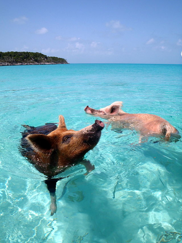 Swimming Pigs - Abaco, Bahamas (Vorobek / Wiki)