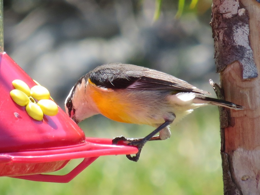 Bananaquit at Hummer feeder, Delphi, Abaco