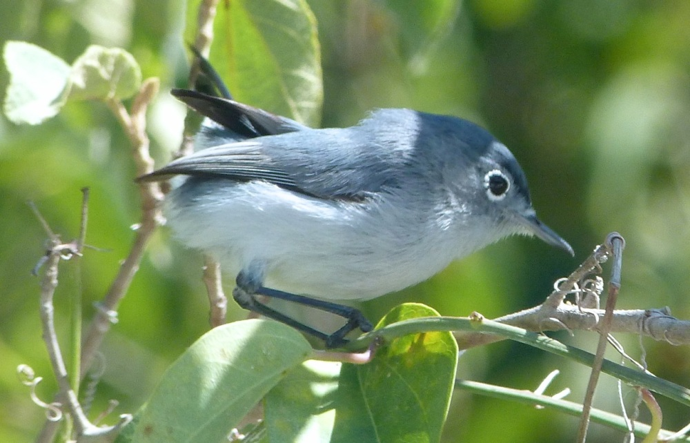 Blue-gray Gnatcatcher, Abaco, Bahamas 1 copy