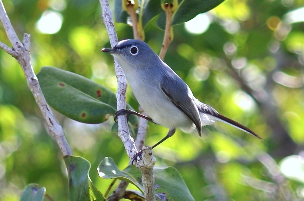 Blue-gray Gnatcatcher, Abaco, Bahamas 1