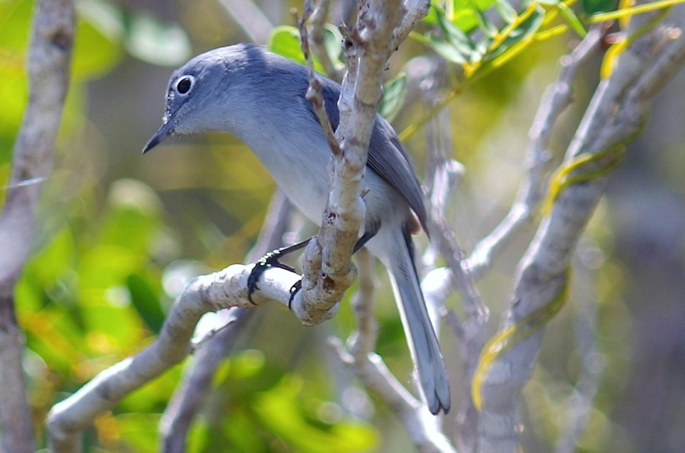 Blue-gray Gnatcatcher, Abaco, Bahamas 2