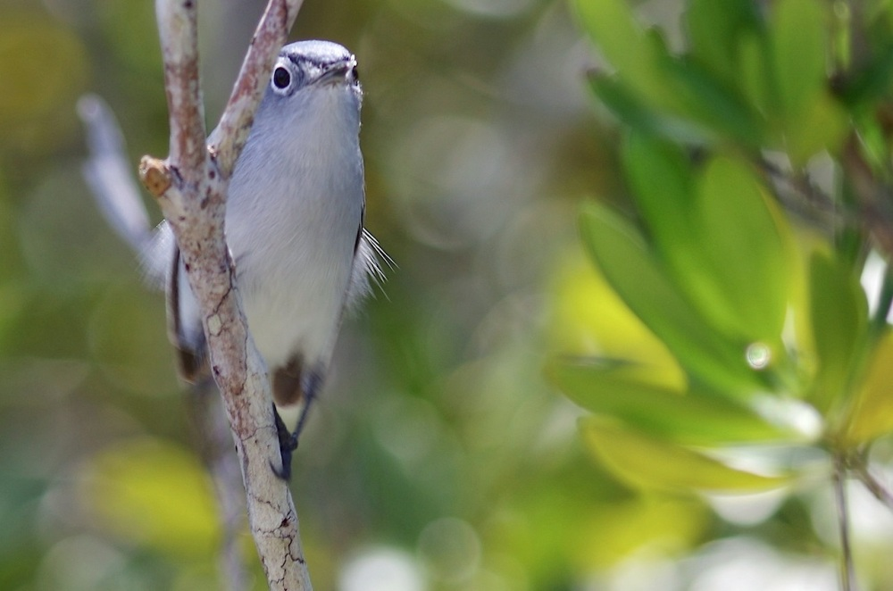 Blue-gray Gnatcatcher, Abaco, Bahamas 5