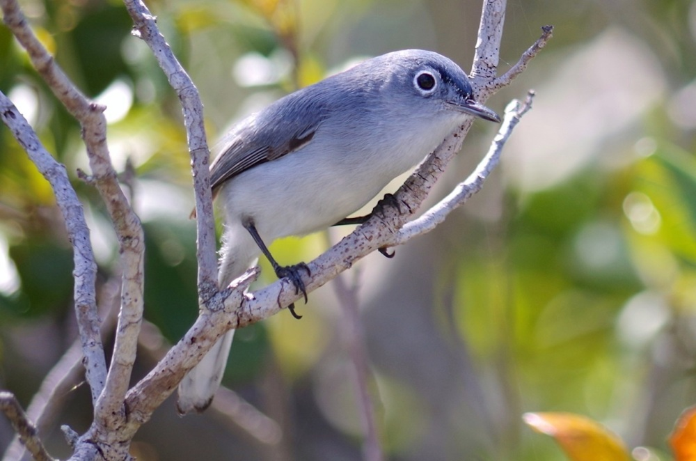 Blue-gray Gnatcatcher, Abaco, Bahamas 6