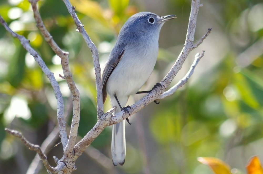 Blue-gray Gnatcatcher, Abaco, Bahamas 7