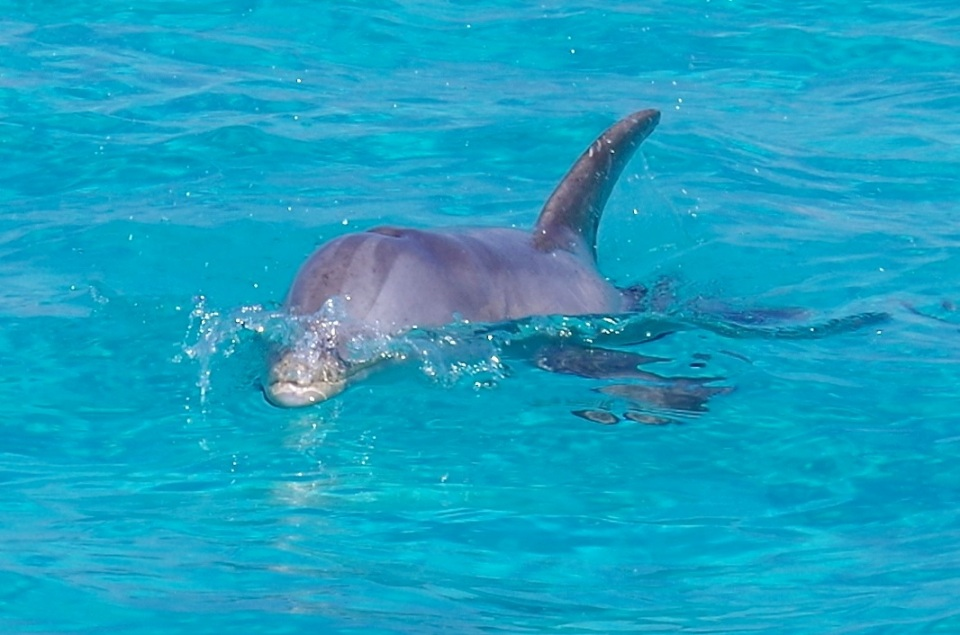 Bottlenose Dolphins, Rocky Point, Abaco (Keith Salvesen : BMMRO) 7