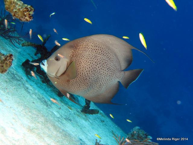 Gray Angelfish ©Melinda Riger @ GB Scuba copy