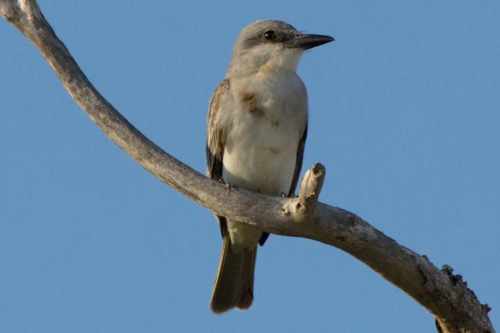 Gray Kingbird, Abaco - Alex Hughes